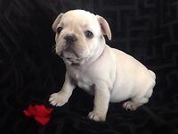 Male Cream French Bulldog Puppy