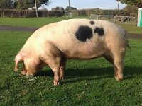 Pet - Gloucester Old Spot Sow Free to loving Home
