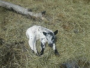 Handsome  Bull calf for sale.