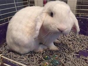 """Young Male Rabbit - Lop Eared: """"Buster"""""""