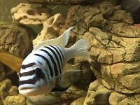 F1 Malawi mbuna or hard to find tb fish I have for sale.