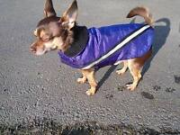 MISSING/LOST CHOCOLATE BROWN AND TAN NEUTERED MALE CHIHUAHUA