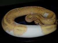 Banana pied male ++ other Pythons