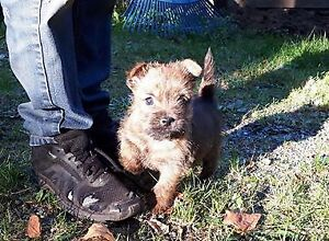 CAIRN TERRIER PUPPIES CKC REG.  ALL SOLD THANK YOU