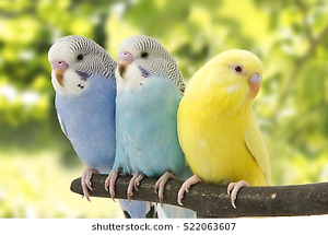 Tame baby budgies