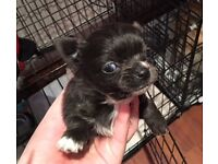Chihuahua puppies for sale long coat males