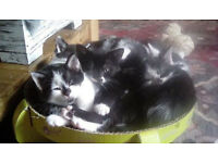 Adorable Black and White Kittens, Boys and Girls available