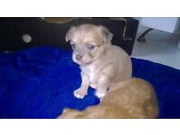 two beautiful long coat pure bred chihuahuas one boy and one girl ready end of October