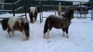 Trade Registered Miniature Horses for 4x4 or boat or W.H.Y
