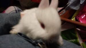 Baby  Bunnies For Sale To Good Home