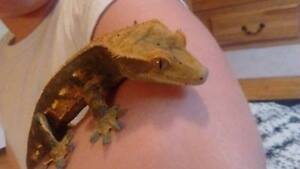 Crested Gecko!!!!