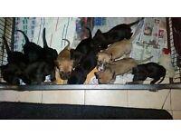 presa d canario puppies