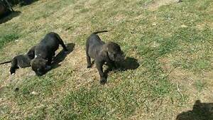 Pups for sale -puppies/dogs Hobart CBD Hobart City Preview