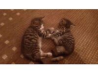 8 week old kittens or sale