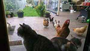 Chickens Chooks Hens! Grown in well nourished environment -$25 ea Mount Waverley Monash Area Preview