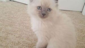 Purebred Ragdolls 8 weeks vet papers $890 obo