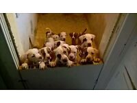 HYBRID AMERICAN BULLDOG PUPS FOR SALE. 9+ WEEKS,CHIPPED, WORMED, FLEED AND VET CHECKED. 9 LEFT.