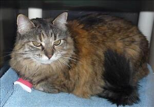 """Adult Female Cat - Domestic Long Hair: """"Willow"""""""
