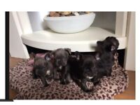 Black french bulldog puppy for sale 1,100 if gone today