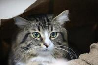 """Young Male Cat - Domestic Medium Hair: """"Prince"""""""
