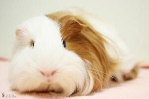 "Baby Male Small & Furry - Guinea Pig: ""Conny"""