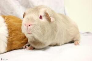 "Young Female Small & Furry - Guinea Pig: ""Lola"""