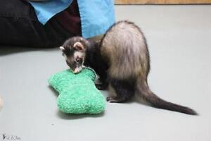 """Young Male Small & Furry - Ferret: """"Le Gros"""""""
