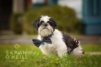 "Adult Male Dog - Shih Tzu: ""Maxwell"""