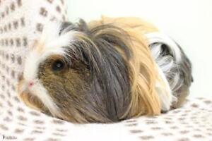 """Young Male Small & Furry - Guinea Pig: """"Carl"""""""
