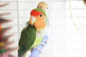 "Young Male Bird - Lovebird: ""Lona"""