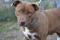 "Adult Female Dog - Pit Bull Terrier: ""Goldberry *courtesy post*"""