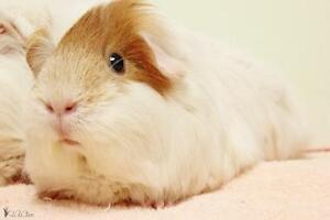 "Young Female Small & Furry - Guinea Pig: ""Bounty"""