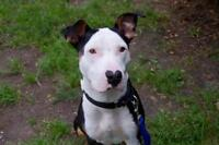 """Young Male Dog - Bull Terrier: """"Corazon"""""""