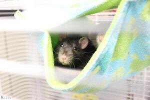 """Young Female Small & Furry - Rat: """"Kathleen"""""""