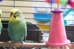 """Young Male Bird - Budgie/Budgerigar: """"Timmy"""""""