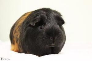 """Young Male Small & Furry - Guinea Pig: """"Messi"""""""