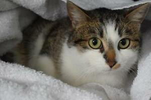 """Young Female Cat - Domestic Short Hair: """"Nuala"""""""