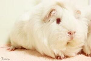 "Young Female Small & Furry - Guinea Pig: ""Gloria"""