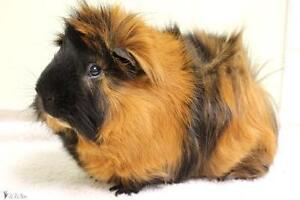 """Young Male Small & Furry - Guinea Pig: """"Grishka"""""""