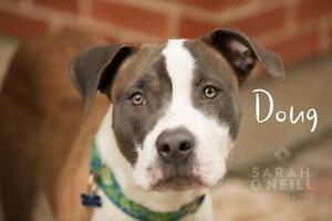 "Adult Male Dog - American Staffordshire Terrier: ""Doug"""