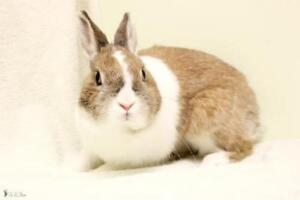 "Young Female Rabbit - Bunny Rabbit-Dutch: ""Nicky"""