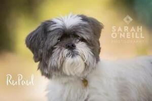 "Senior Male Dog - Lhasa Apso: ""RuPaul"""