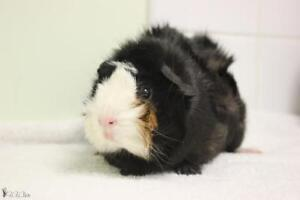 "Young Female Small & Furry - Guinea Pig: ""Yachi"""