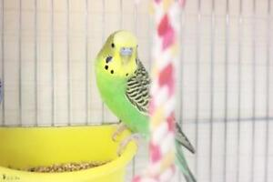 "Young Male Bird - Budgie / Budgerigar: ""Pistachio"""