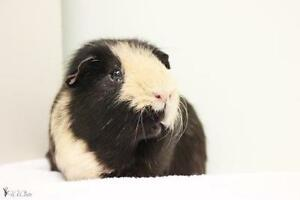 "Young Male Small & Furry - Guinea Pig: ""Valentin"""