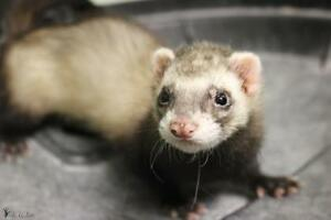 """Baby Male Small & Furry - Ferret: """"Willy"""""""