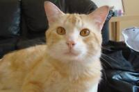 """Young Male Cat - Domestic Short Hair: """"Gabriel"""""""