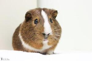 """Young Male Small & Furry - Guinea Pig: """"Kamil"""""""