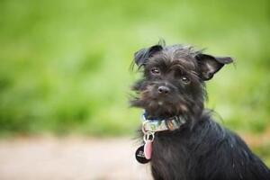 """Adult Female Dog - Terrier: """"Toto"""""""