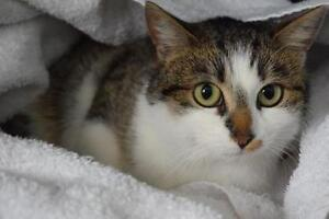 "Young Female Cat - Domestic Short Hair: ""Nuala"""
